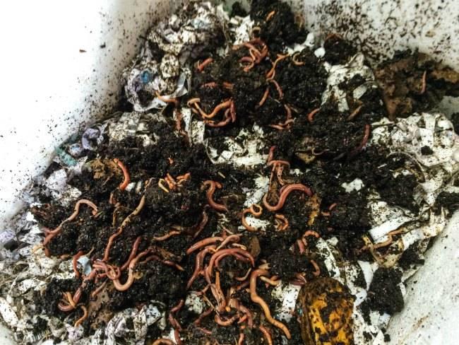 Калифорнийские черви - разведение в домашних условиях как бизнес