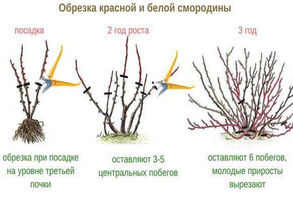 Обрезка красной и черной смородины: когда и как правильно это делать - огород, сад, балкон - медиаплатформа миртесен