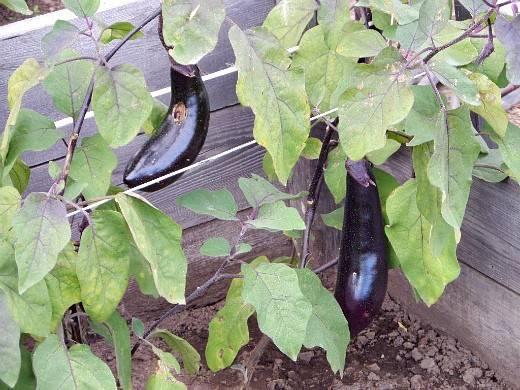 Баклажаны рассада выращивание без пикировки - sadachanik