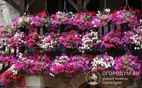 Петунии, виды и названия удобрений для подкормки цветов