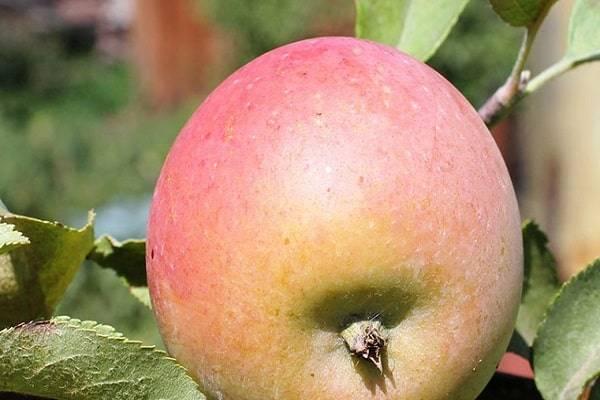"""Яблоня сладкая нега - описание сорта, фото, отзывы - журнал """"совхозик"""""""