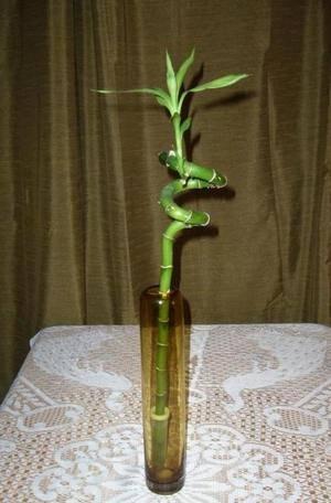 Как самостоятельно посадить бамбук дома. секреты от экспертов - райский сад