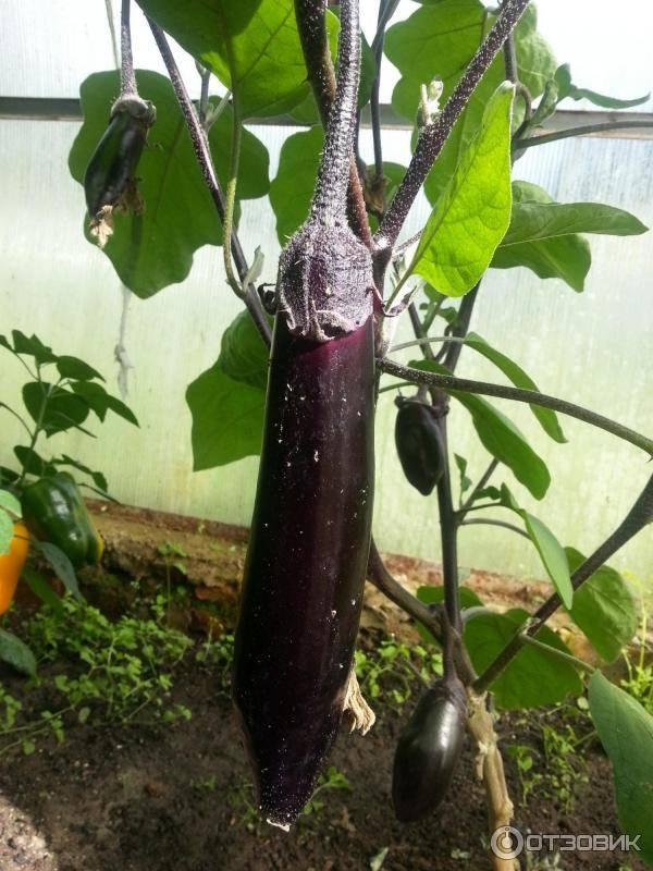 Баклажан высокоурожайный король рынка