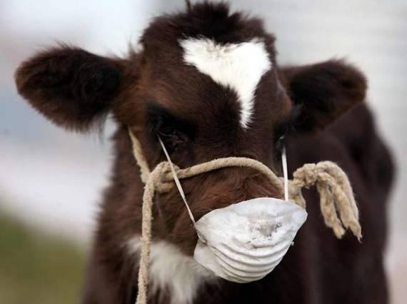 Залёживание беременных коров