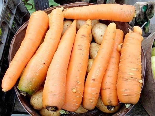 Вредители и болезни моркови: фото, описание, способы лечения, меры борьбы и защита растений
