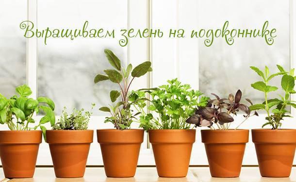 Простой способ как выращивать зелень на подоконнике зимой