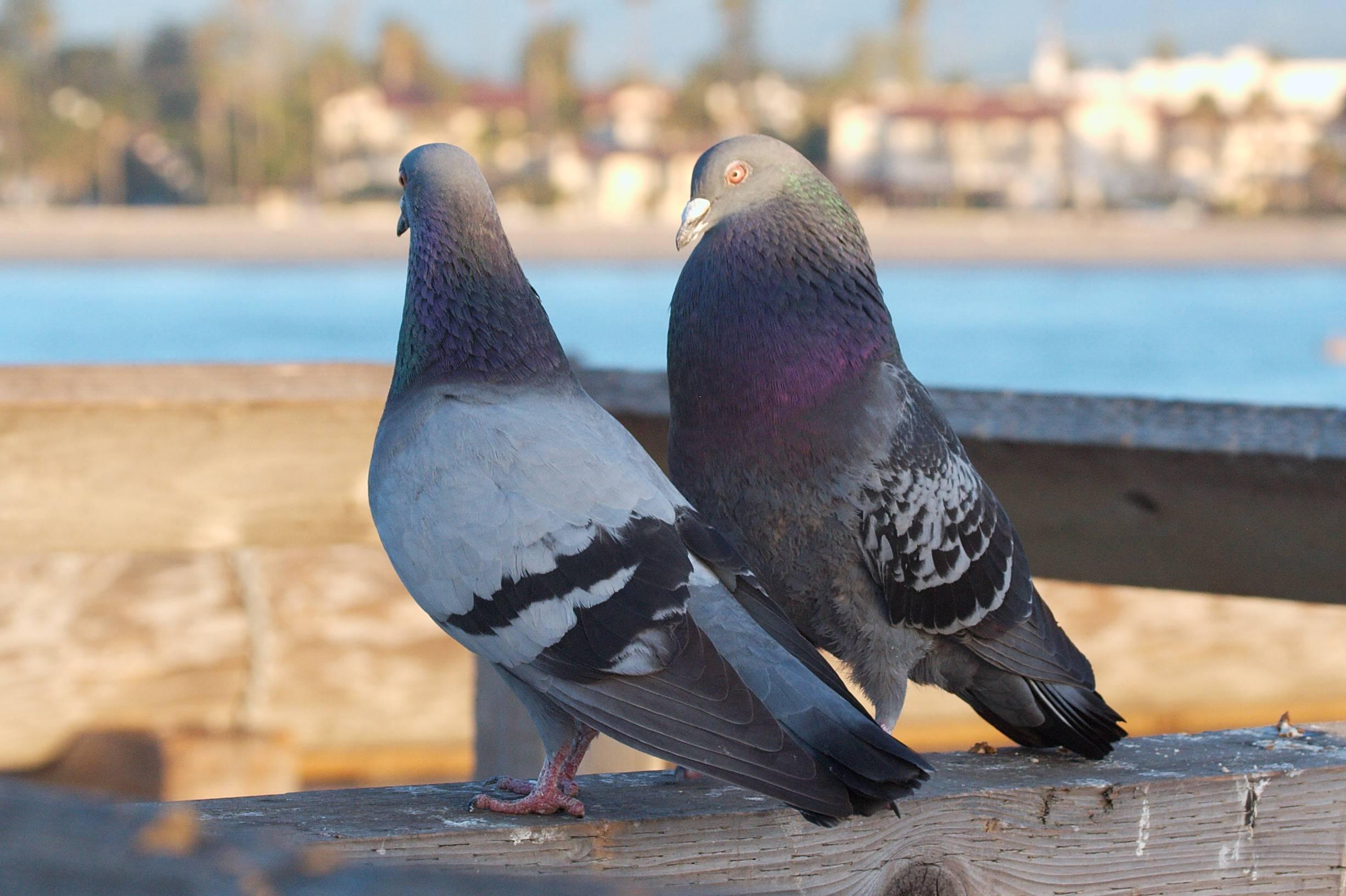 Как отличить голубя от голубки? как определить пол самца или самки голубя? какие существуют внешние признаки различий?