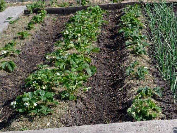 Подготовка грядки под клубнику в августе - огород, сад, балкон - медиаплатформа миртесен