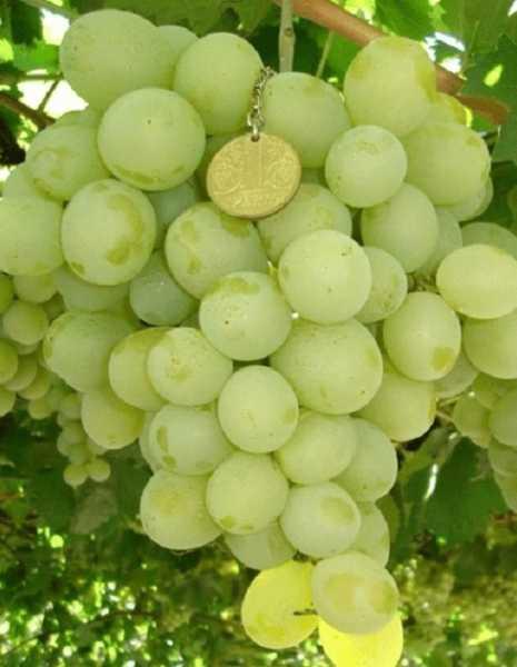 """Подробное описание сорта винограда """"байконур"""", фото, видео"""