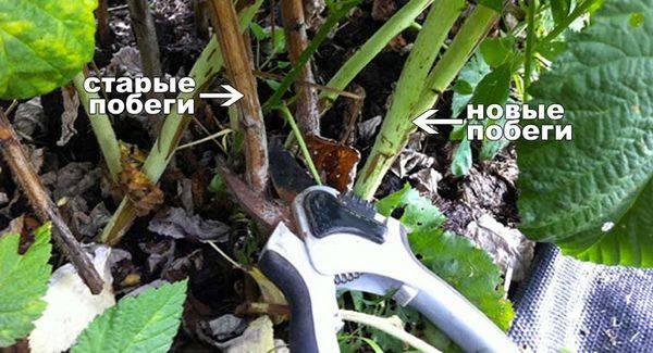 Обрезка малины весной: инструкция для начинающих, правила, схемы, сроки