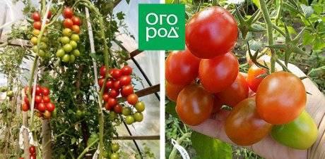 Характеристика и описание сорта томата черри ира, его урожайность