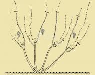 Как обрезать виноград осенью изабелла. формирование старой лозы: тонкости и премудрости