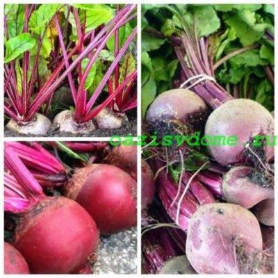 Посадка свеклы рассадой и семенами в открытый грунт
