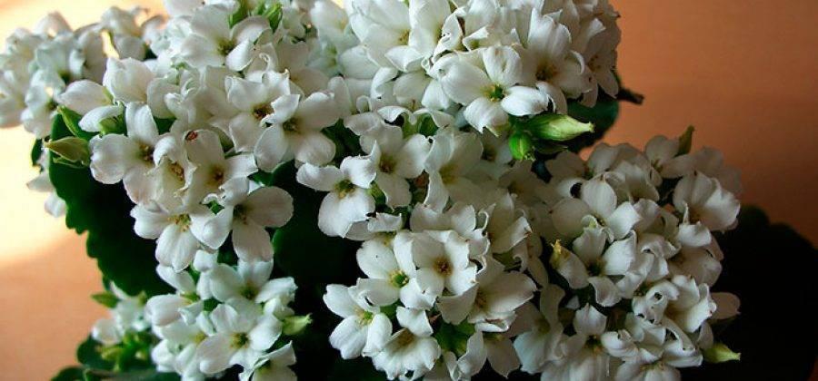 Почему не цветет каланхоэ и что делать?