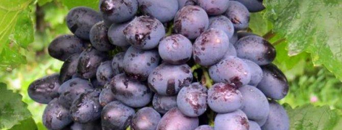 Сорт винограда гала: фото, отзывы, описание, характеристики.