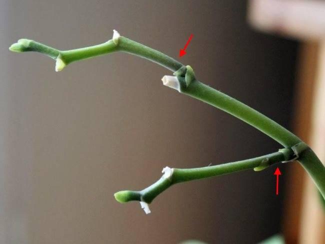Как обрезать фаленопсис после цветения: подробные фото цветоносов орхидеи