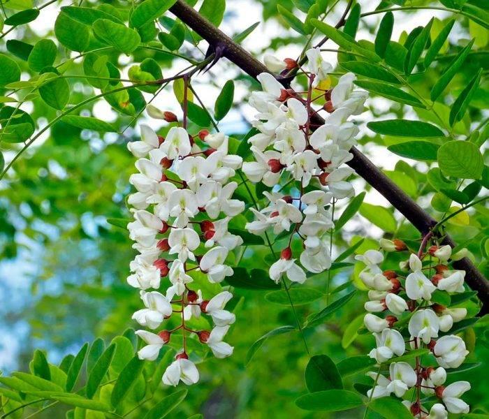 Белая акация: уход и лечебные свойства, фото и видео selo.guru — интернет портал о сельском хозяйстве