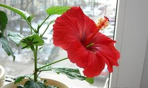 Семена гибискуса комнатного: размножение в домашних условиях, как выращивать побеги, когда сажать в землю, зацветет ли сразу, как выглядит на фото сортовой материал? русский фермер