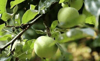 Посадка яблони весной саженцами. как правильно посадить яблоню. видео
