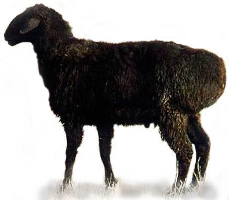 Распространённые породы овец с фото и описанием