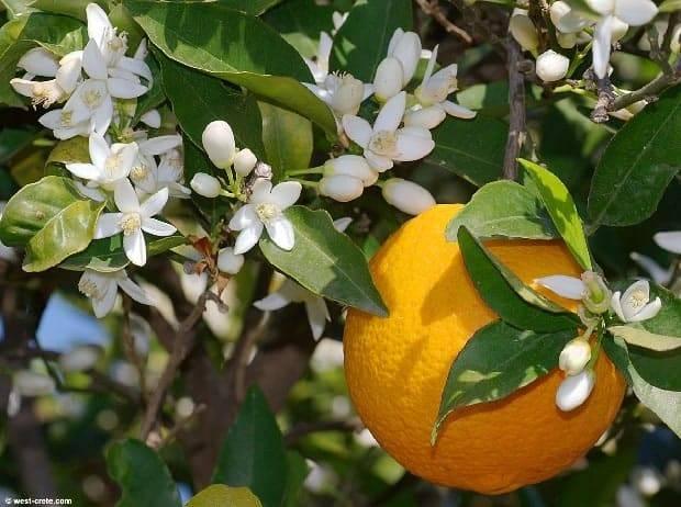 Чем подкормить мандариновое дерево в домашних условиях: какая подкормка нужна для сладости плодов, чем удобрять домашний мандарин, чтоб плодоносил