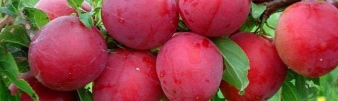 Слива «красный шар»  — высокоурожайный сорт с выносливым характером
