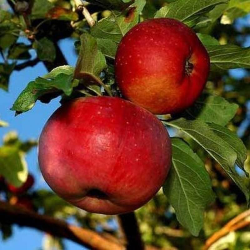 Яблоня китайка бельфлер: характеристики сорта