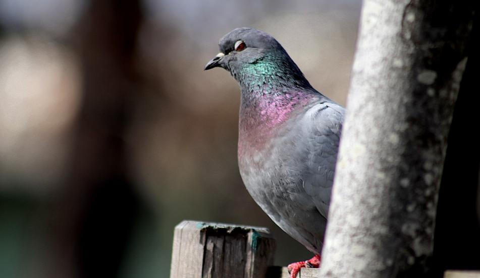 Какие болезни переносят голуби и опасны ли они для человека