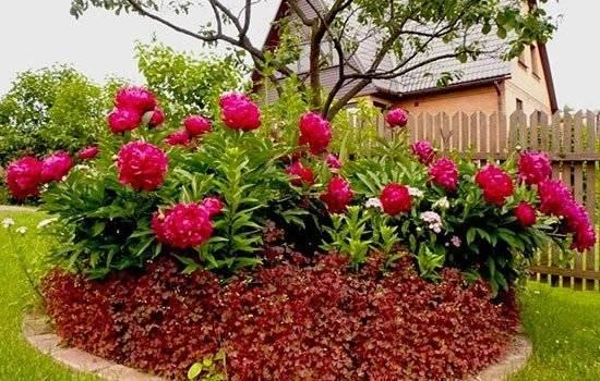 Уход за пионами осенью: подготовьте цветы к зиме правильно!