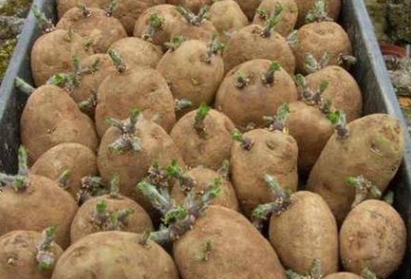 Пророс картофель