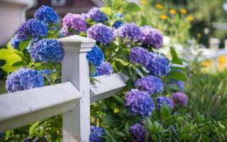 Гортензия вьющаяся (черешковая, плетистая) — живая изгородь в вашем саду!