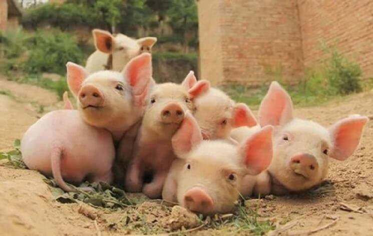 Сонник свинья. к чему снится свинья во сне?