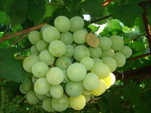 Виноград рута описание сорта, характеристика, уход и выращивание