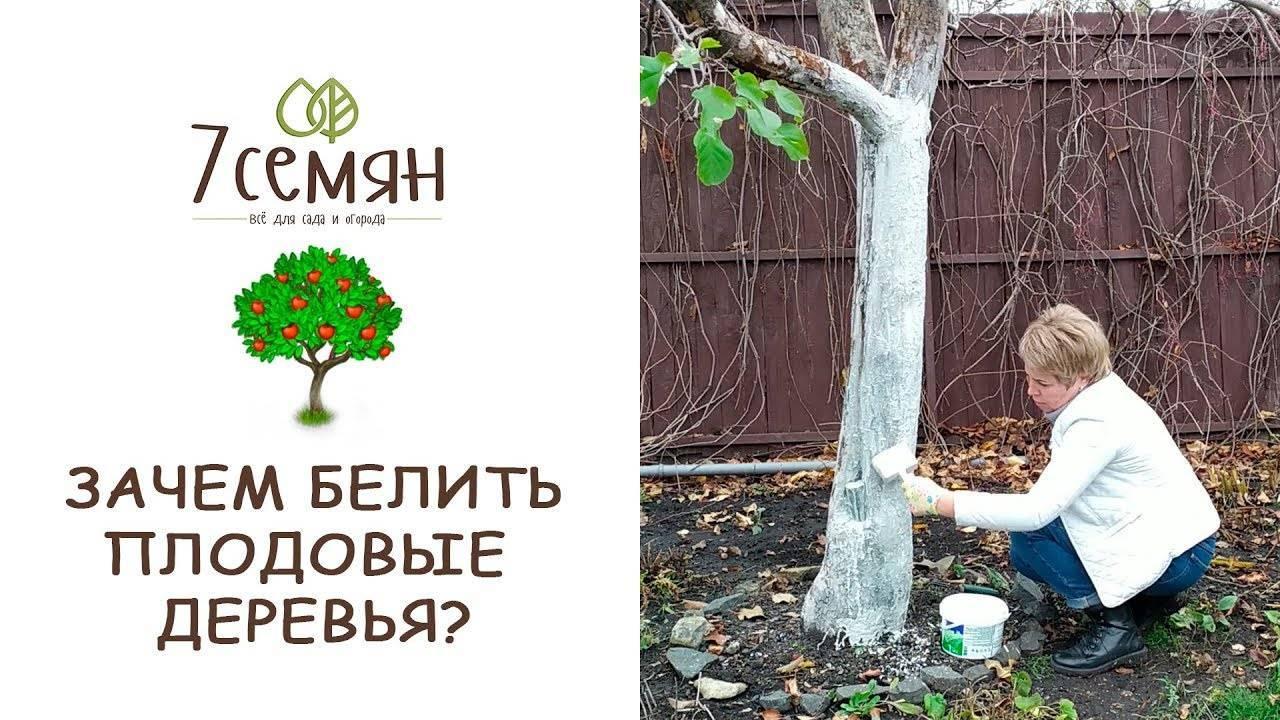 Белим деревья: зачем нужно, когда и как делать это правильно