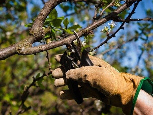 Схема осенней обрезки вишни