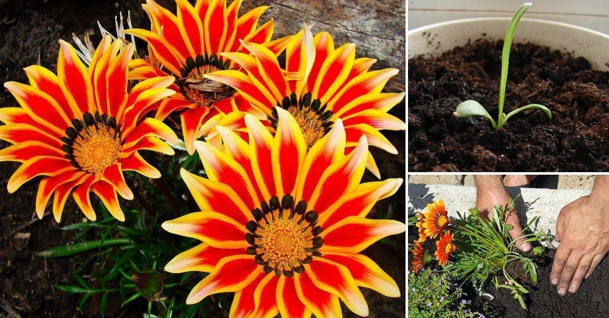 Яркая гацания: как правильно вырастить экзотическое растение
