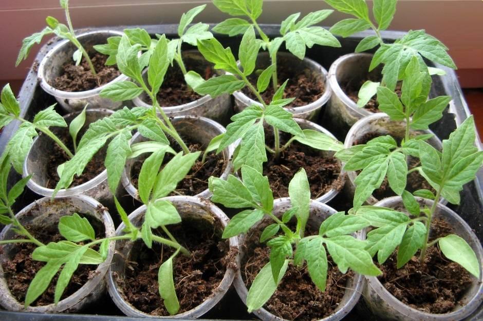 Советы и рекомендации как вырастить огурцы на подоконнике в квартире зимой? особенности посадки и ухода за рассадой в домашних условиях