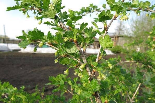 Крыжовник «финик»: характеристика, агротехника выращивания