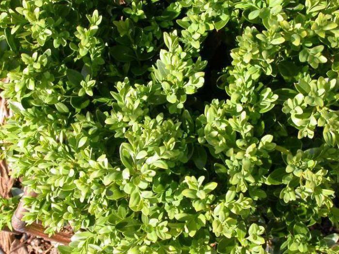 Дерево самшит: фото и описание цветов и листьев растения, выращивание и уход за самшитом