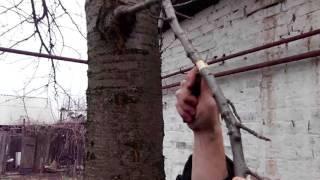 Как размножить яблоню