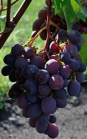 Виноград низина - описание сорта, фото, отзывы