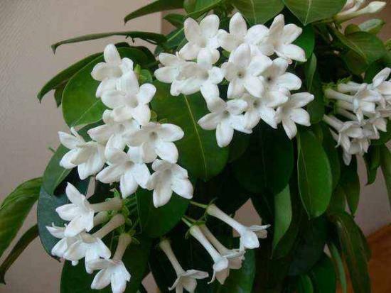 Комнатное растение жасмин: фото видов цветка, уход в домашних условиях и размножение