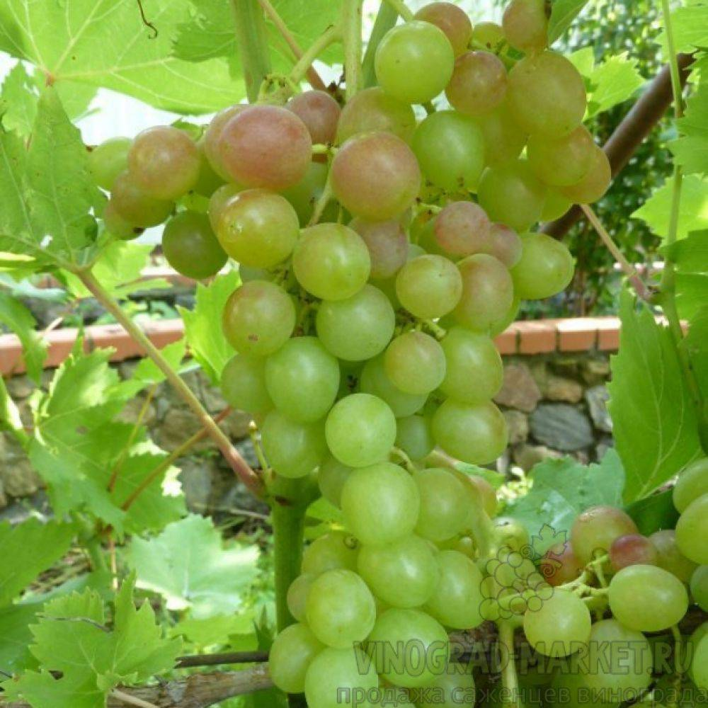 Виноград блестящий: описание и основные характеристики сорта, отзывы о выращивании, посадка саженцев и дальнейший уход