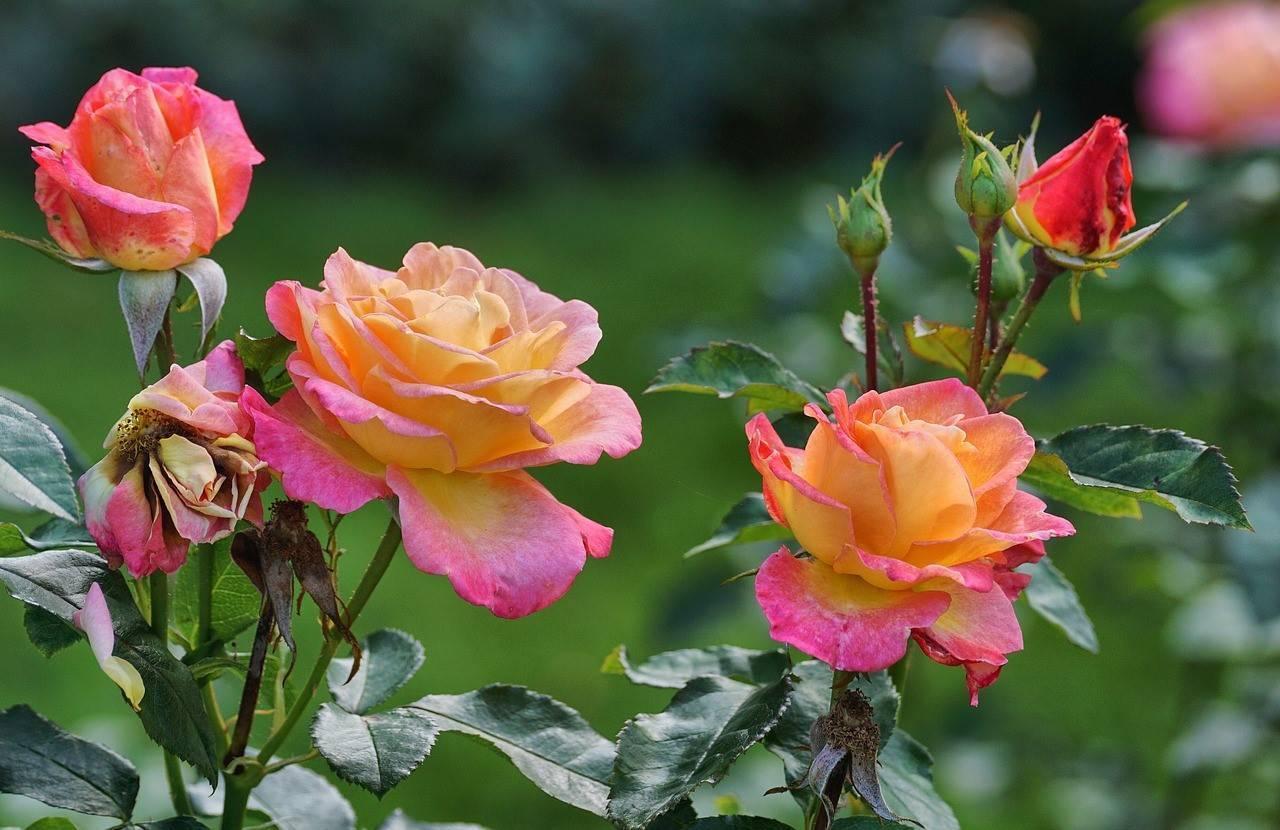 Пересадка роз: когда можно переносить на другое место, весной, летом или осенью