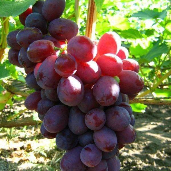 ᐉ ризамат устойчивый - сорт винограда - виноград - roza-zanoza.ru