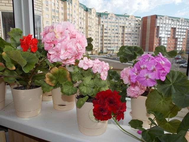 Как пересадить герань в домашних условиях: пошаговое описание и фото - sadovnikam.ru
