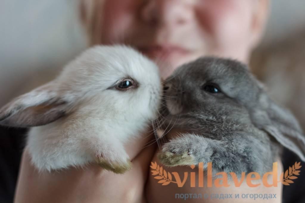 О болезнях глаз у кролика: почему гноятся и слезятся, что делать, чем их лечить