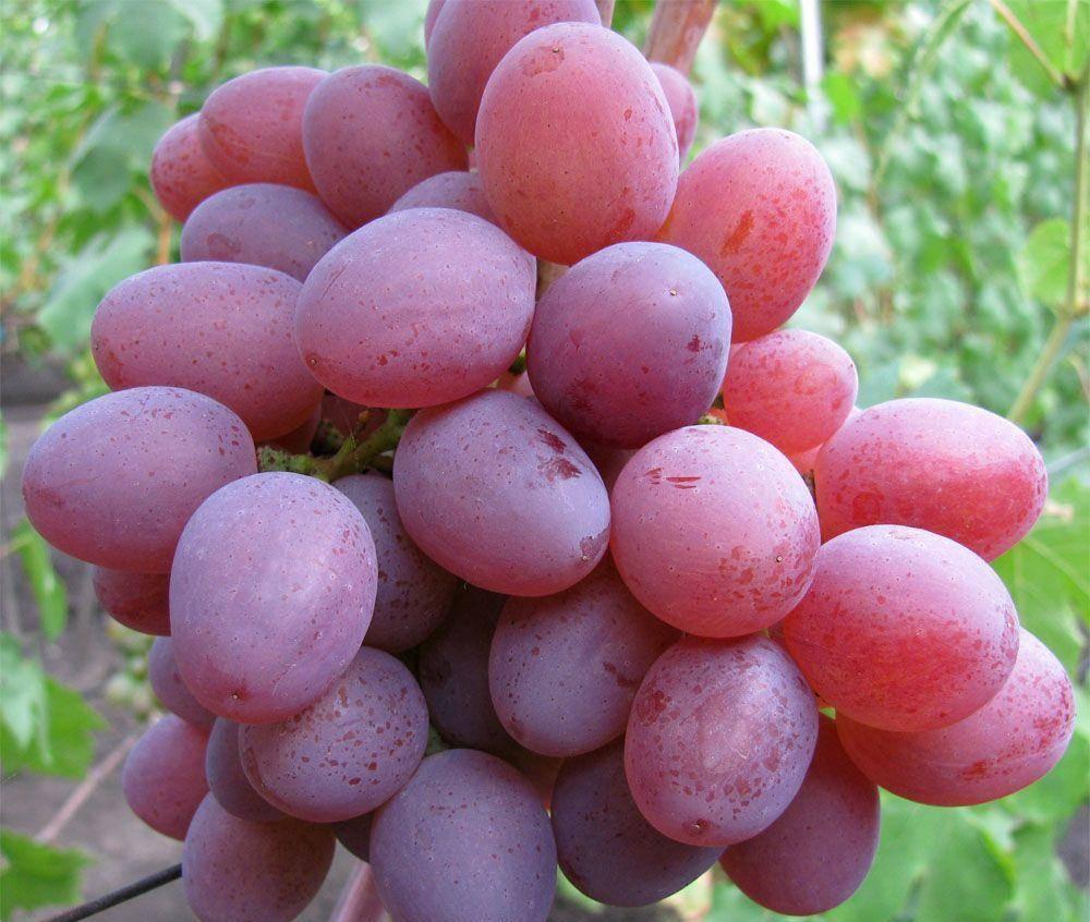 Сорт винограда рута: описание, фото