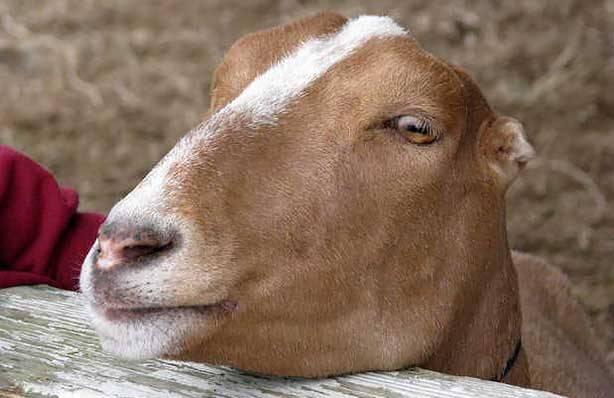 Козы ламанча: описание породы, продуктивность, фото — selok.info