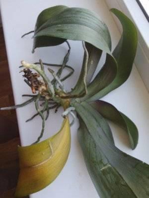 Как спасти погибающую орхидею без корней и листьев